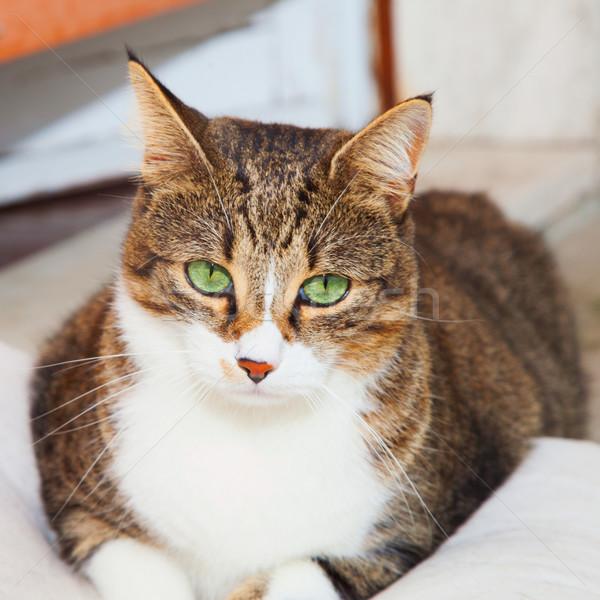 Kedi yeşil oturma yastık arka plan kediler Stok fotoğraf © Koufax73