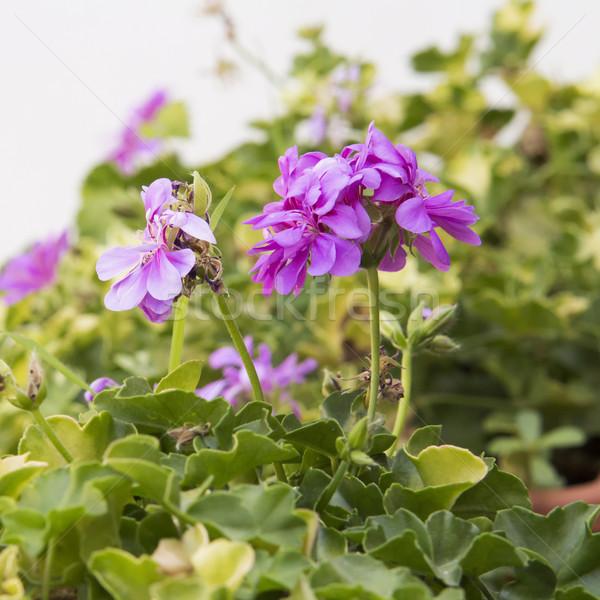 花 広場 画像 葉 庭園 ストックフォト © Koufax73