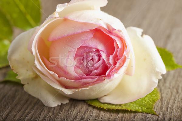 Сток-фото: закрывается · белый · Розовые · розы · капли · воды