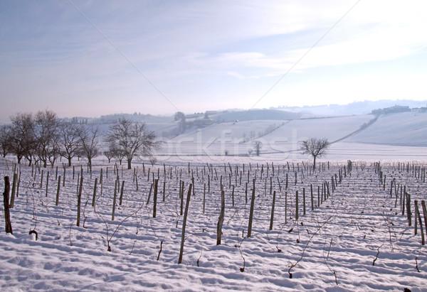 Vine with snow Stock photo © Koufax73