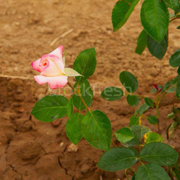 Rose Stock photo © Koufax73