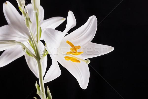Beyaz zambak lilyum siyah bo Stok fotoğraf © Koufax73