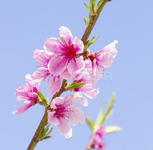 Peach flowers Stock photo © Koufax73