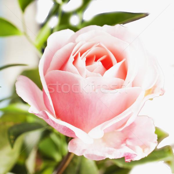 バラ ピンクのバラ 広場 画像 花 ストックフォト © Koufax73