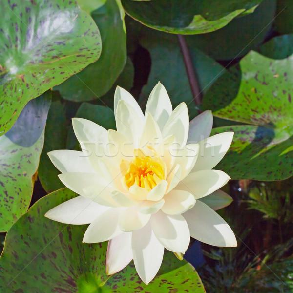 Blanche fleur lumière feuille été Photo stock © Koufax73