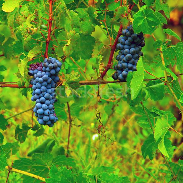 üzüm siyah üzüm kadar yeşil asma Stok fotoğraf © Koufax73