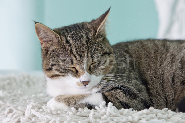 Cat Stock photo © Koufax73
