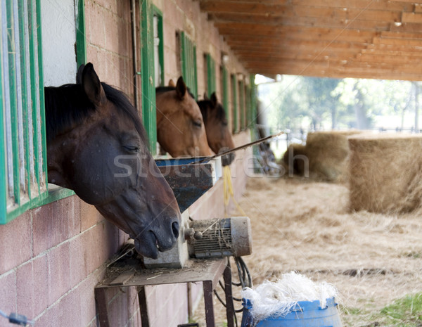 Horses Stock photo © Koufax73