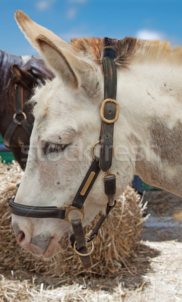 Donkey Stock photo © Koufax73