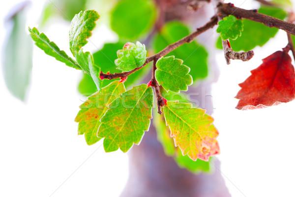 Levelek zöld levelek közelkép fehér fa tavasz Stock fotó © Koufax73