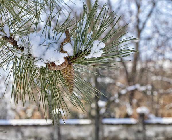 Pine cone Stock photo © Koufax73