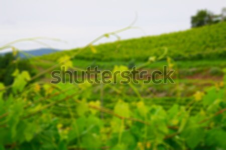 Vineyard background Stock photo © Koufax73