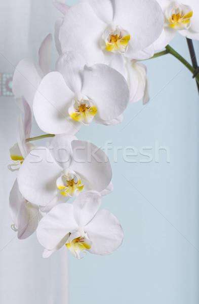 Orchid Stock photo © Koufax73