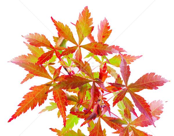 Leaves Stock photo © Koufax73