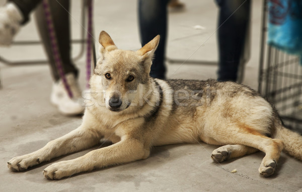 Farkas kutya ül alkat vízszintes kép Stock fotó © Koufax73