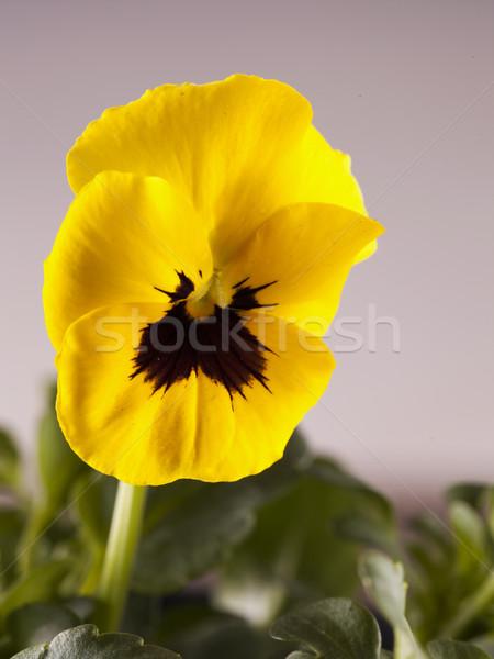 Sarı mor yeşil dikey görüntü Stok fotoğraf © Koufax73
