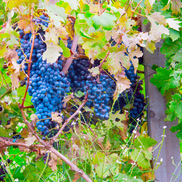 Grapes Stock photo © Koufax73