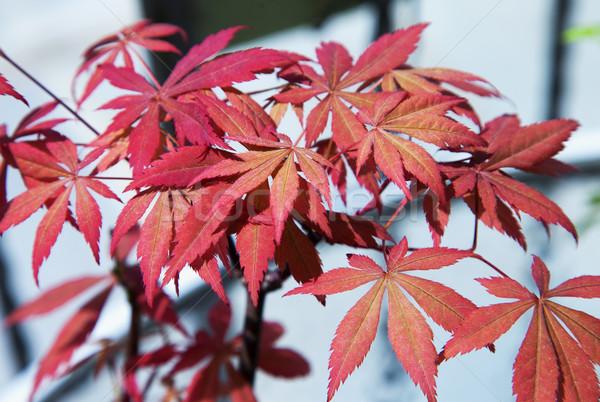 Acer palmatum Stock photo © Koufax73