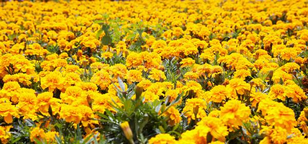 желтый полный области горизонтальный изображение цветы Сток-фото © Koufax73