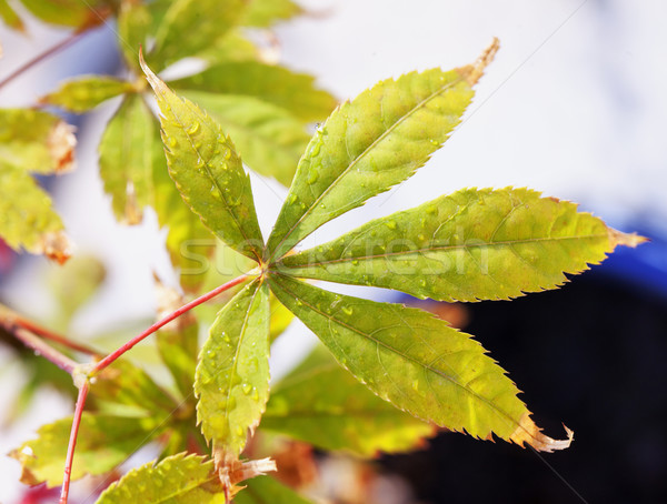 Folha maple leaf gotas de água horizontal imagem árvore Foto stock © Koufax73