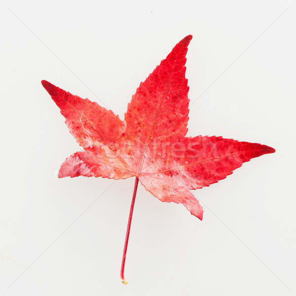 Red leaf Stock photo © Koufax73