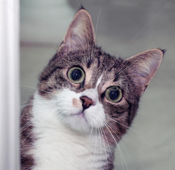 Surprised cat Stock photo © Koufax73