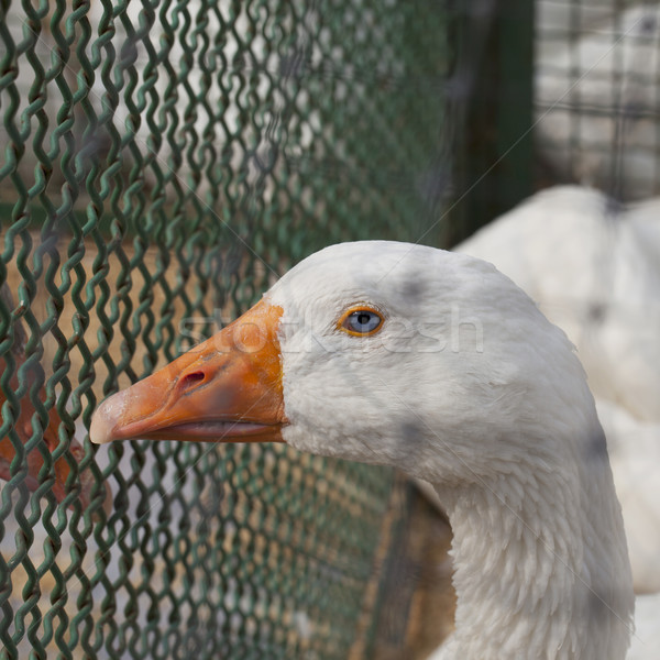 Blue eyed duck Stock photo © Koufax73