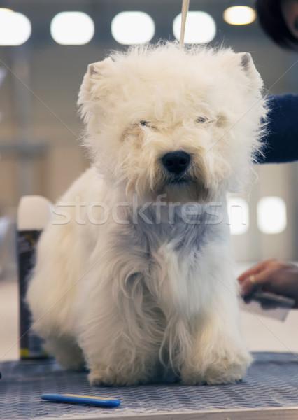 Blanco tierras altas terrier vertical imagen feliz Foto stock © Koufax73