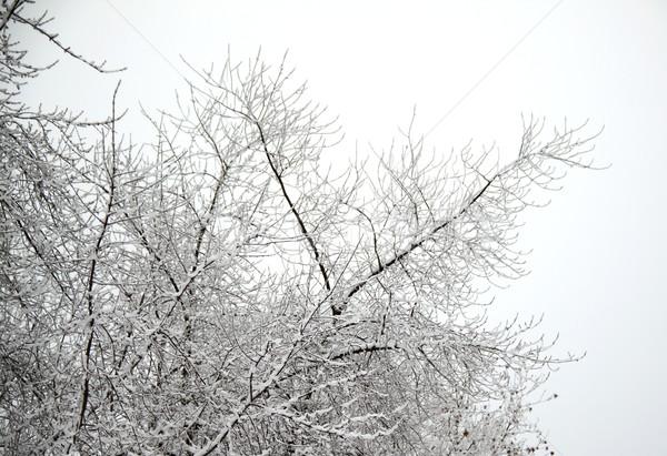 Snow on branches Stock photo © Koufax73