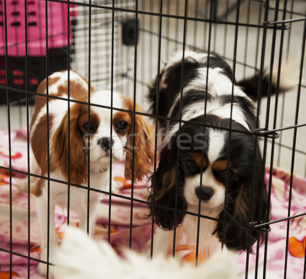 Dogs in a cage Stock photo © Koufax73