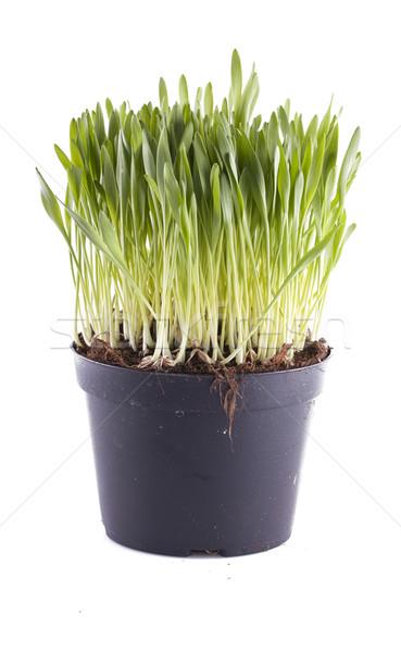 Foto stock: Vaso · isolado · branco · primavera · grama · natureza