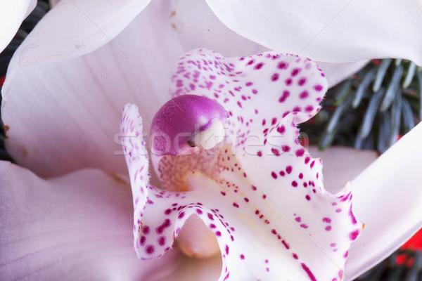 Orchidea bianco viola orizzontale immagine Foto d'archivio © Koufax73