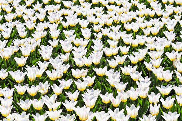 белый тюльпаны области весны Пасху цветок Сток-фото © kravcs