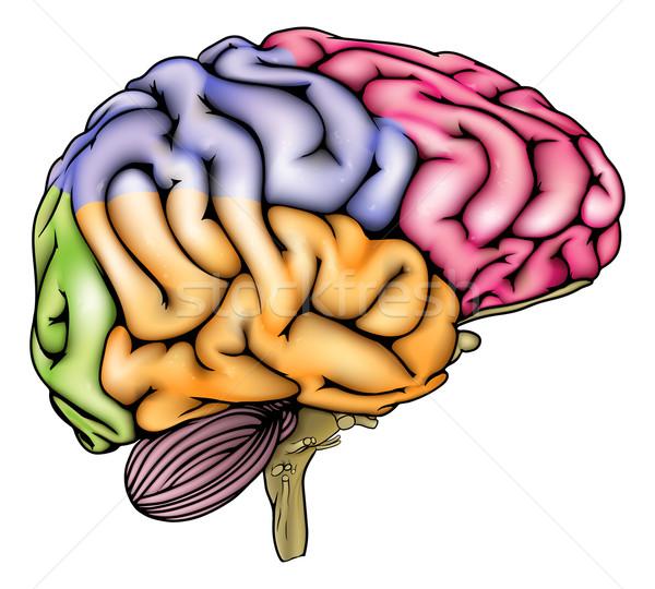 Cérebro humano anatomia ilustração diagrama corrigir diferente Foto stock © Krisdog