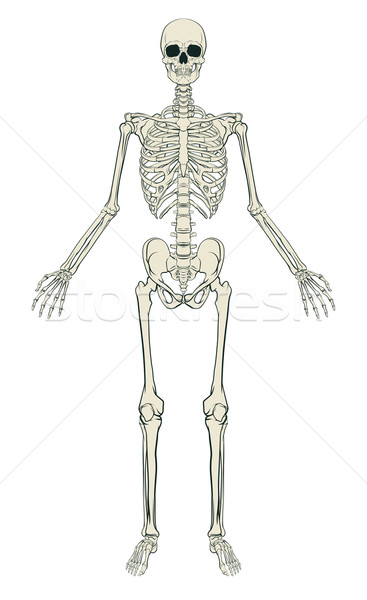 Human Skeleton Stock photo © Krisdog