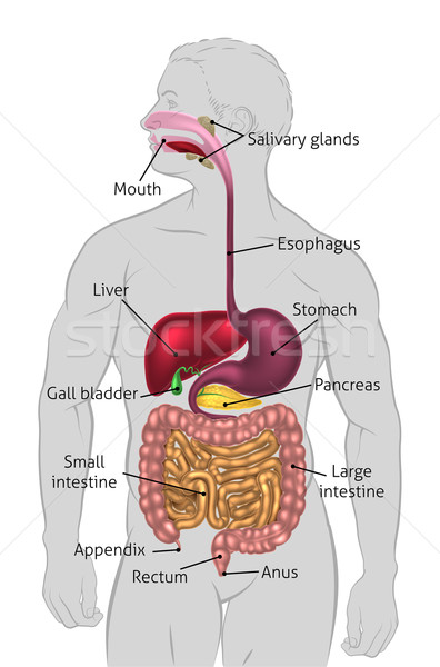 Human Digestive Tract Stock photo © Krisdog