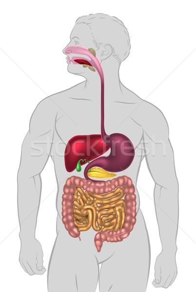 Menselijke spijsverteringsorganen illustratie gezondheid wetenschap torso Stockfoto © Krisdog