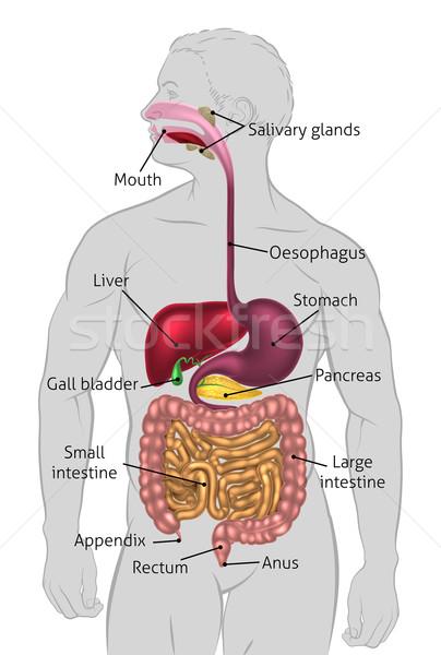 Human Digestive System Tract Stock photo © Krisdog