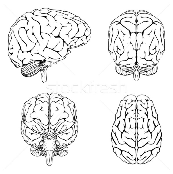 Brain from top side front and back Stock photo © Krisdog