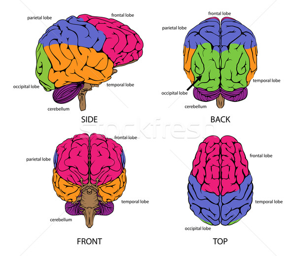 Human brain from all sides Stock photo © Krisdog