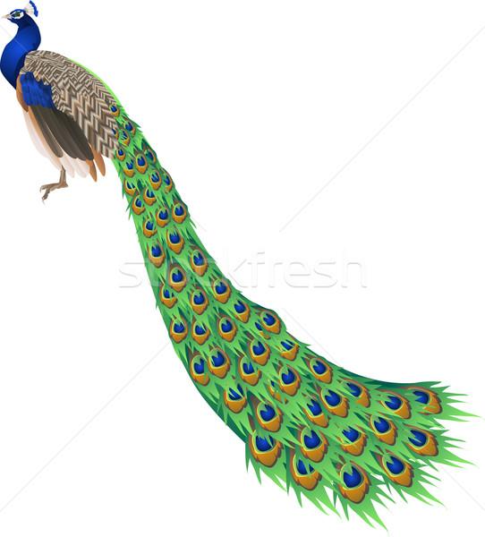 Paon illustration longtemps queue nature oiseau Photo stock © Krisdog