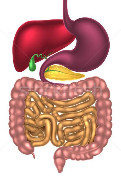 Alimentary Canal Digestive System Stock photo © Krisdog