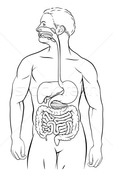 Human Digestive System Stock photo © Krisdog