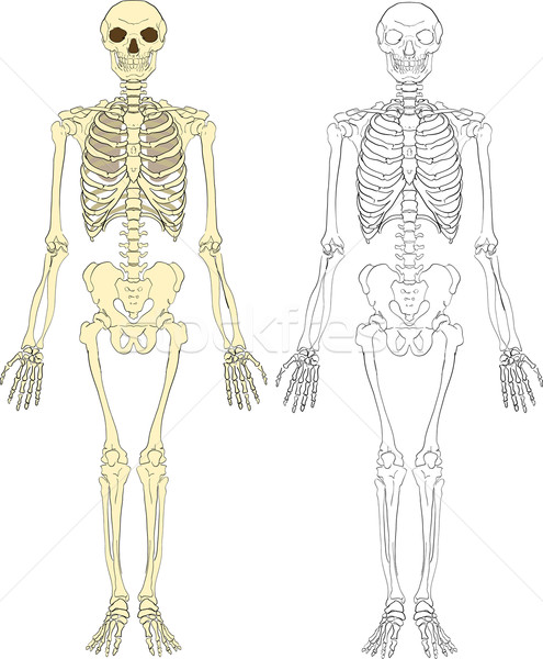 skeleton illustration Stock photo © Krisdog