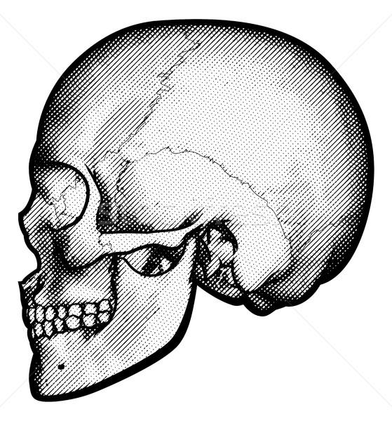 Skull in Profile Drawing Stock photo © Krisdog