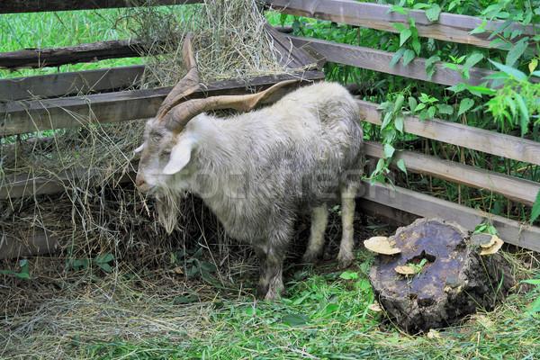 Animal on a farm  Stock photo © krugloff