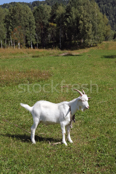 White goat on a leash Stock photo © krugloff