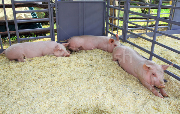 Three pigs in the pen  Stock photo © krugloff