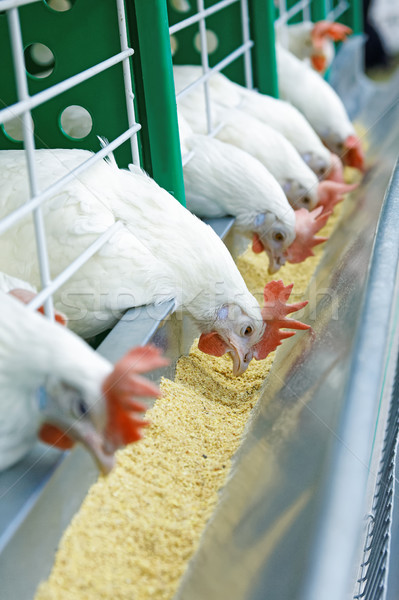 A few white chickens in a row are fed Stock photo © krugloff