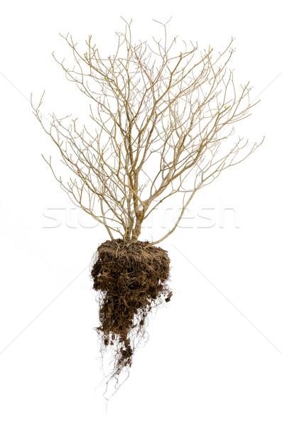Toter Baum Wurzeln halten Boden isoliert weiß Stock foto © kttpngart